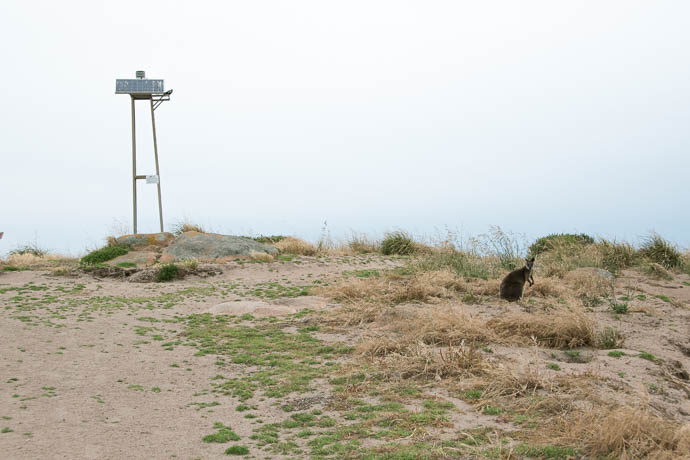 Wallaby and The beacon on Cape Woolamai Coastal Walk